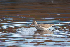 Common Redshank. Standing in a ripple Stock Image