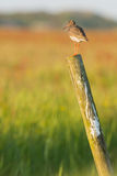 Common redshank on wooden fence Stock Photography
