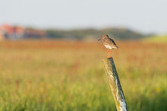 Common redshank on wooden fence Stock Image