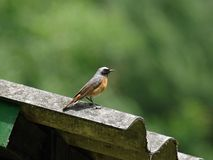 Common Redstart Stock Photography
