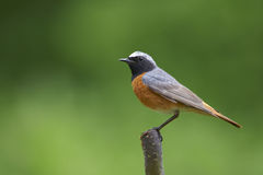 Common Redstart. Perching male Common Redstart (Phoenicurus phoenicurus Royalty Free Stock Photos