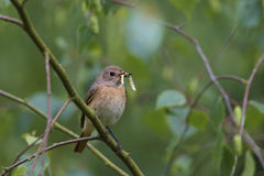 Common Redstart, female Stock Images