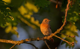 Common Redstart female Royalty Free Stock Images
