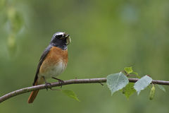 Common Redstart, male Stock Images
