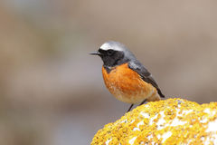 Common redstart male (Phoenicurus phoenicurus) Stock Photography