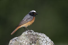 Free Common Redstart, Phoenicurus Phoenicurus Stock Photography - 34904212