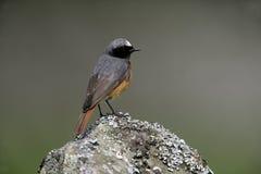 Free Common Redstart, Phoenicurus Phoenicurus Stock Image - 34904291