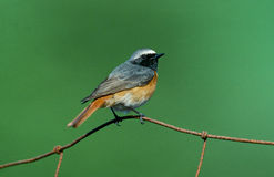 Free Common Redstart, Phoenicurus Phoenicurus Royalty Free Stock Images - 35747169
