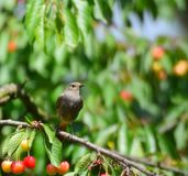 The common redstart, Phoenicurus phoenicurus. Female. On the cherry branch royalty free stock photos