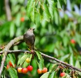 The common redstart, Phoenicurus phoenicurus. Female. On the cherry branch stock photography