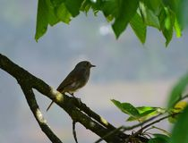 The common redstart, Phoenicurus phoenicurus. Female. On the cherry branch stock photo