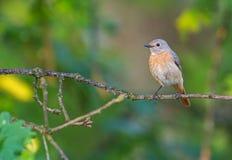 Common Redstart (Phoenicurus phoenicurus) Stock Photography
