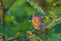 Common Redstart (Phoenicurus phoenicurus) Royalty Free Stock Image