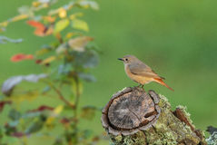 Common Redstart (Phoenicurus phoenicurus) Stock Images