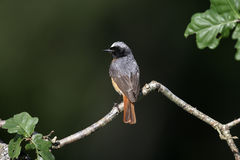 Common redstart, Phoenicurus phoenicurus Royalty Free Stock Images