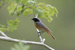 Common redstart,  Phoenicurus phoenicurus Stock Photography