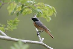 Common redstart,  Phoenicurus phoenicurus Stock Photography