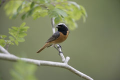 Common redstart,  Phoenicurus phoenicurus Royalty Free Stock Image