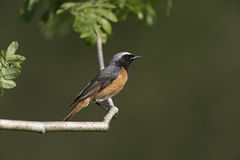 Common redstart,  Phoenicurus phoenicurus Royalty Free Stock Photography