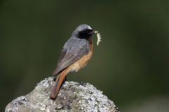 Common redstart, Phoenicurus phoenicurus Royalty Free Stock Photos