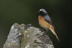 Common redstart, Phoenicurus phoenicurus Stock Photo