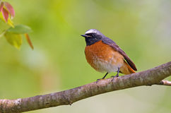 Common redstart stock photos