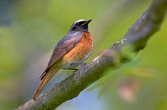 Common redstart Royalty Free Stock Images