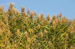 Common reed. Stock Photography