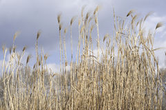 Common Reed. Some halms of reed in a park in the city of Vienna Stock Image