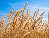 Common reed, against clear sky Royalty Free Stock Image