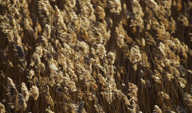 Common reed background Royalty Free Stock Image