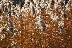 Common reed. Beautiful natural background with the sun. Phragmites australis Royalty Free Stock Image