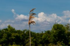 Common reed with blurred blue sky as a background stock photos