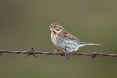 Common Reed Bunting on barbed wire Royalty Free Stock Photos