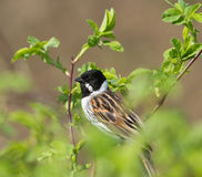 Common Reed Bunting on branch. Common Reed Bunting on the branch Stock Images