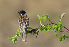 Common Reed Bunting. On the branch Stock Photography