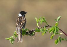 Common Reed Bunting Royalty Free Stock Image