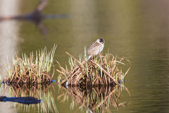 Common Reed Bunting Stock Images
