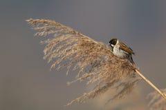 Common reed bunting (Emberiza schoeniclus) Stock Image