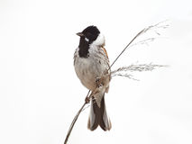 Common Reed Bunting (Emberiza schoeniclus) Stock Photo