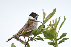 Common Reed Bunting (Emberiza schoeniclus) Royalty Free Stock Photo