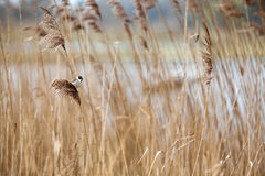 Common Reed Bunting. The female of the reed bunting is an inconspicuous bird, with a light colored bottom with dark longitudinal stripes. The top is brown with royalty free stock photo