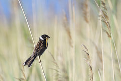 Common Reed Bunting Stock Photos