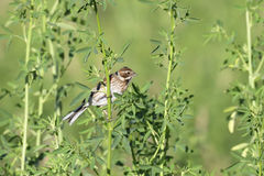Common Reed Bunting Royalty Free Stock Photography