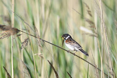 Common Reed Bunting Stock Photography