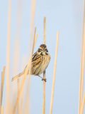 Common reed bunting in reeds Stock Photo