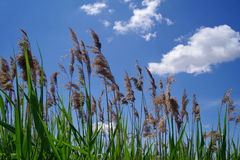 Common reed in delta Vacaresti Nature Park - Bucharest, Romania Stock Photos