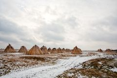 Common reed harvest storing crops in winter season. Agricultural backgrounds Royalty Free Stock Images