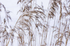 Common reed in icy cold winter.  Frosty straw. Freeze temperatures in nature Royalty Free Stock Image