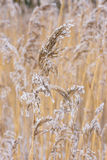Common reed in icy cold winter.  Frosty straw. Freeze temperatures in nature Royalty Free Stock Images